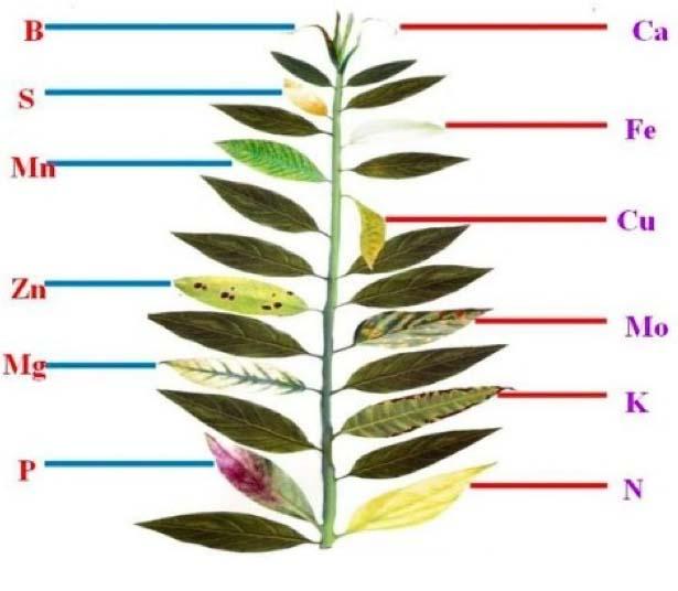 علائم کمبود عناصر در گیاه