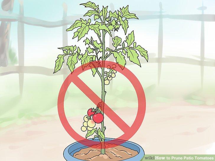 آموزش هرس شاخه هاي گياه گوجه فرنگي مرحله 3