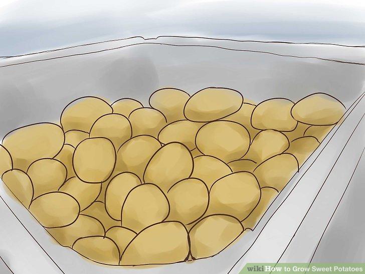 Image titled Grow Sweet Potatoes Step 22
