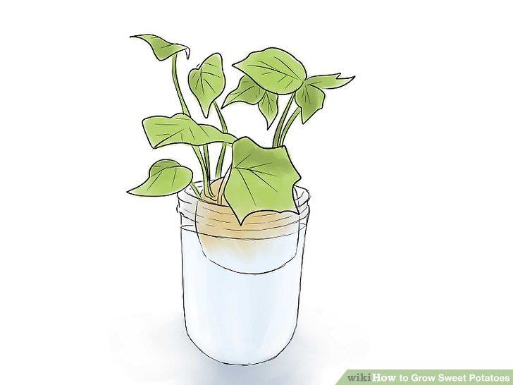 Image titled Grow Sweet Potatoes Step 6