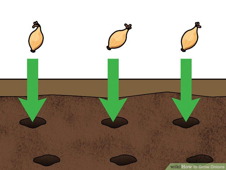 آموزش کاشت پياز مرحله 8