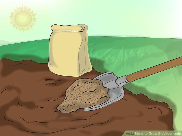 آموزش کاشت انگور فرنگی سیاه 3