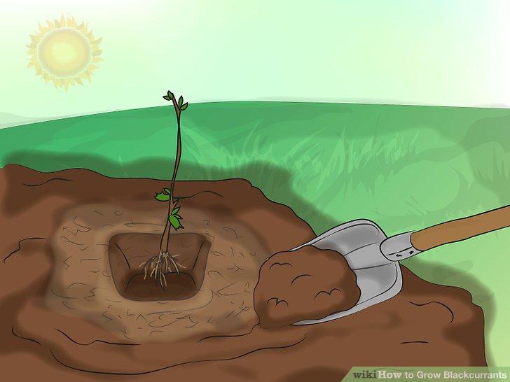 آموزش کاشت انگور فرنگی سیاه 4