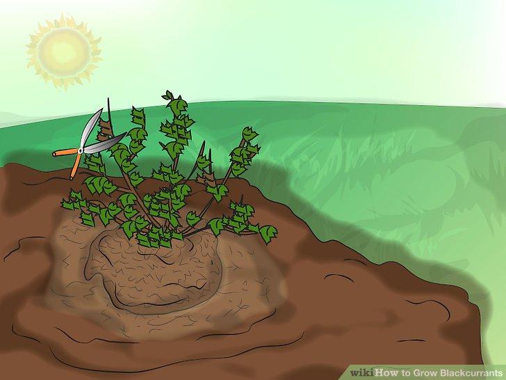 آموزش کاشت انگور فرنگی سیاه 6