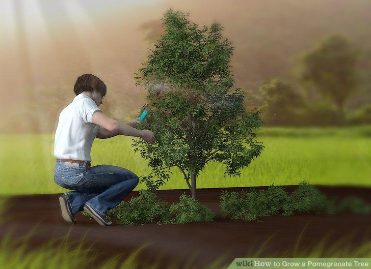 آموزش کاشت درخت انار مرحله ی 10