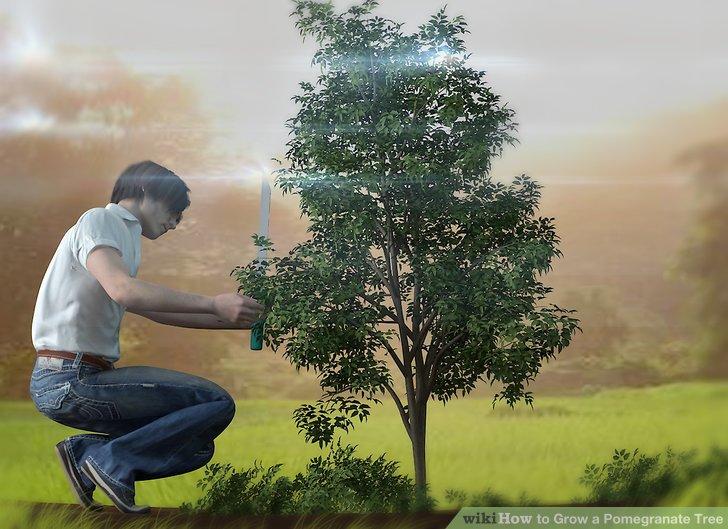 آموزش کاشت درخت انار مرحله ی 11