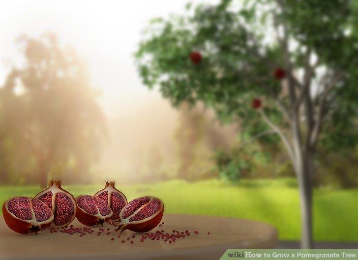آموزش کاشت درخت انار مرحله ی 12