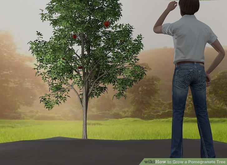آموزش کاشت درخت انار مرحله ی 3