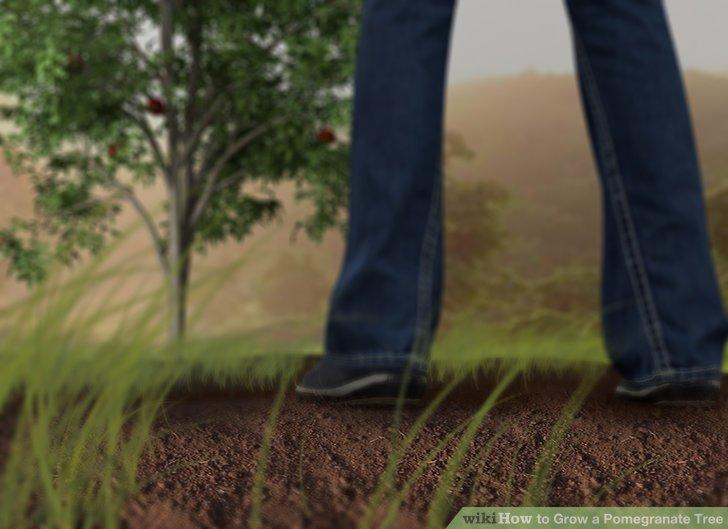 آموزش کاشت درخت انار مرحله ی 4