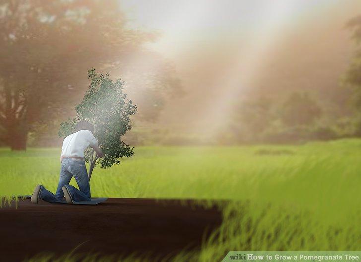 آموزش کاشت درخت انار مرحله ی 6