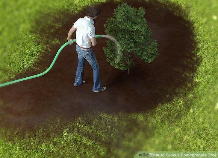 آموزش کاشت درخت انار مرحله ی 7