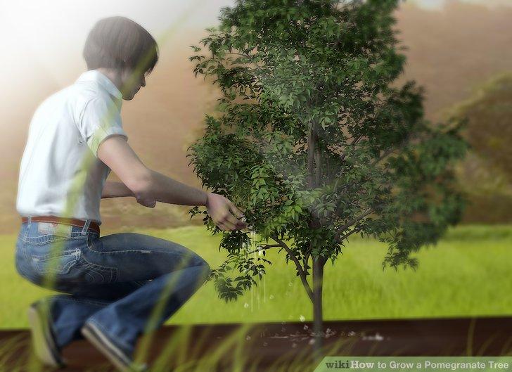 آموزش کاشت درخت انار مرحله ی 8