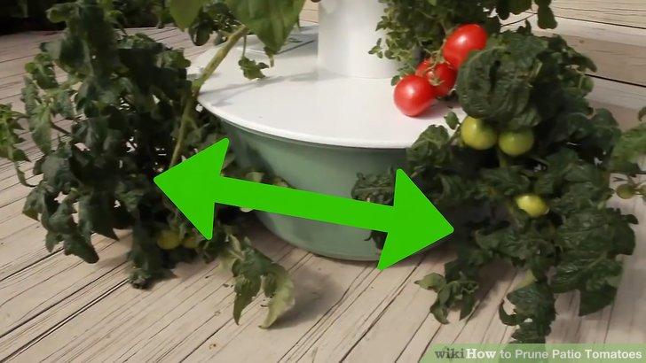 آموزش هرس شاخه هاي گياه گوجه فرنگي مرحله 9