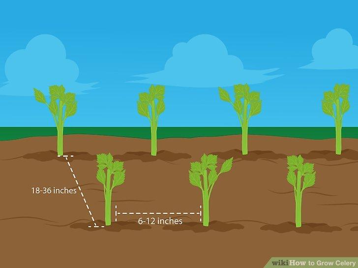 Image titled Grow Celery Step 10