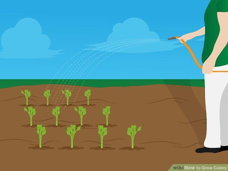 Image titled Grow Celery Step 12