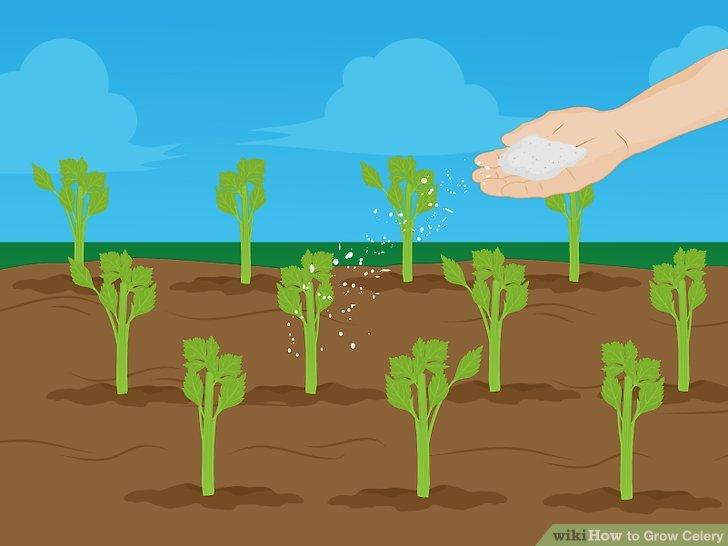 Image titled Grow Celery Step 14