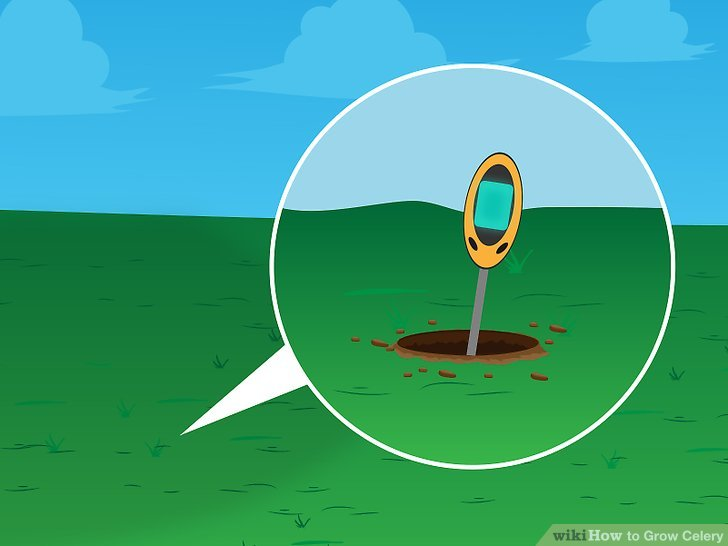 Image titled Grow Celery Step 6