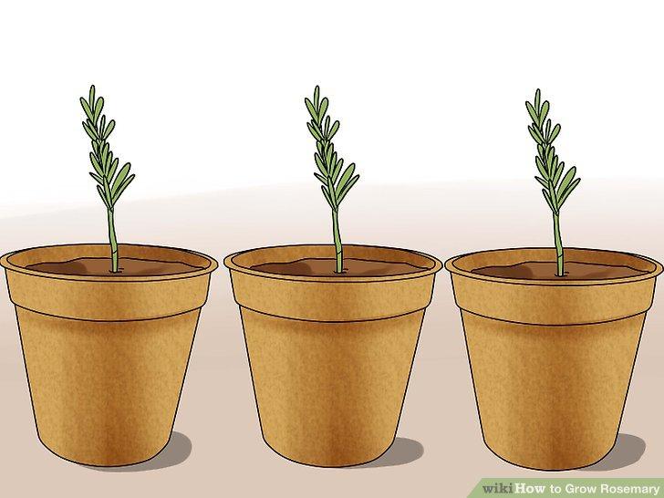 آموزش کاشت رزماري مرحله 3