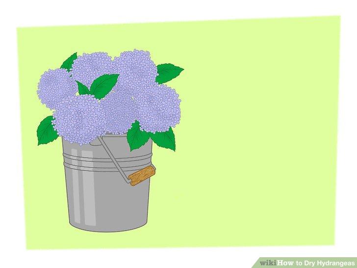 خشک کردن گل ادریسی 1