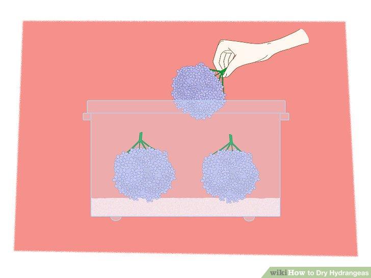 خشک کردن گل ادریسی 4