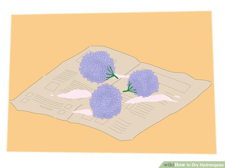 خشک کردن گل ادریسی 7