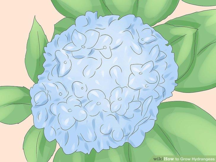 کاشت گل ادریسی مرحله 1