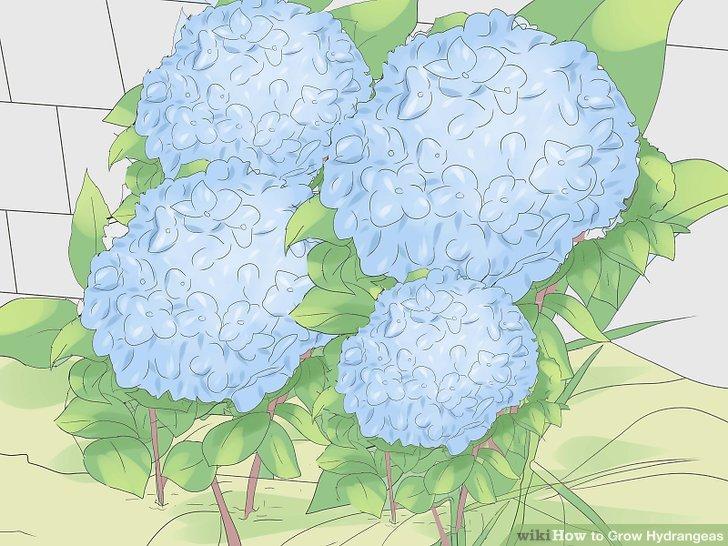 کاشت گل ادریسی مرحله 10