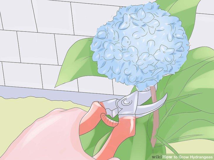 کاشت گل ادریسی مرحله 8