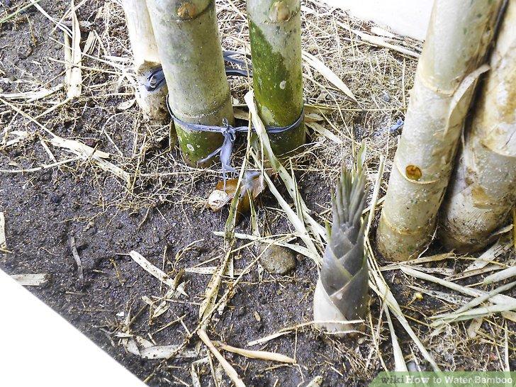 نحوه آب دادن به بامبو مرحله 4