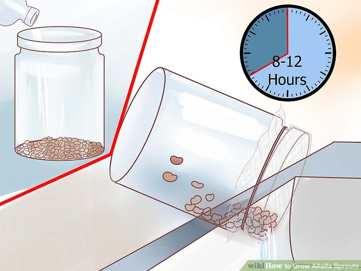 Image titled Grow Alfalfa Sprouts Step 11