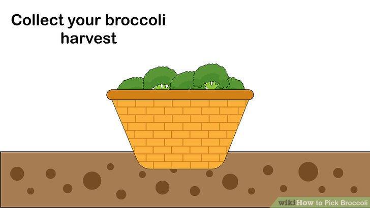 آموزش برداشت کلم بروکلی مرحله  10