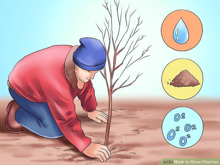 آموزش کاشت درخت گیلاس مرحله 4