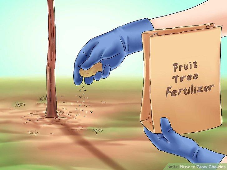 آموزش کاشت درخت گیلاس مرحله 5