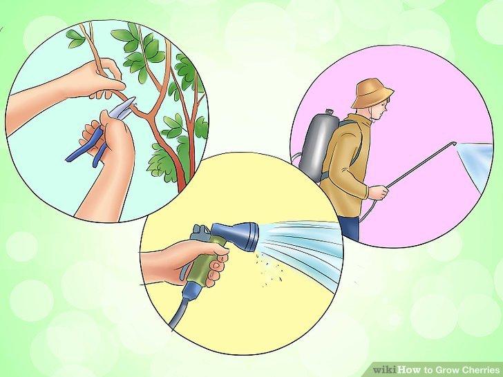 آموزش کاشت درخت گیلاس مرحله 6