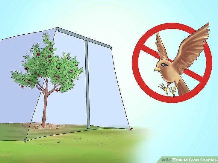 آموزش کاشت درخت گیلاس مرحله 7