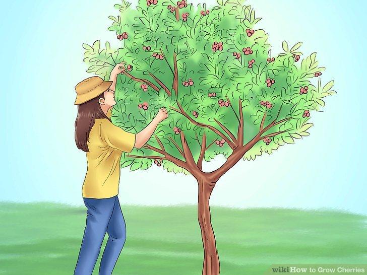 آموزش کاشت درخت گیلاس مرحله 8