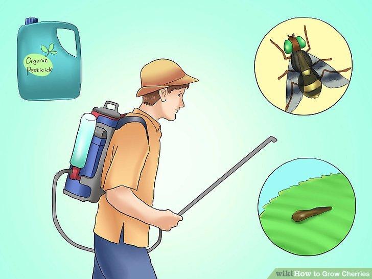 آموزش کاشت درخت گیلاس مرحله 9