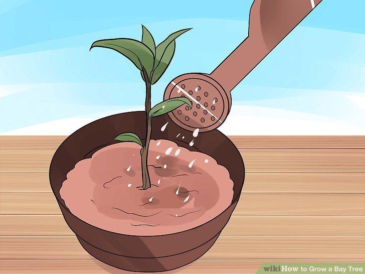Image titled Grow a Bay Tree Step 3