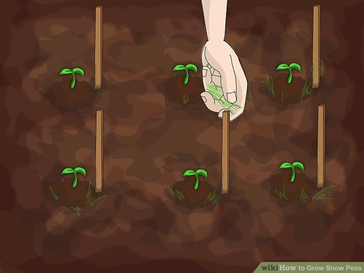 آموزش کاشت نخود فرنگي مرحله 6