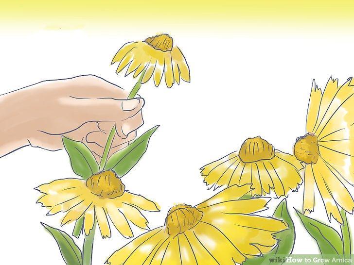 آموزش پرورش گل همیشه بهار مرحله 5