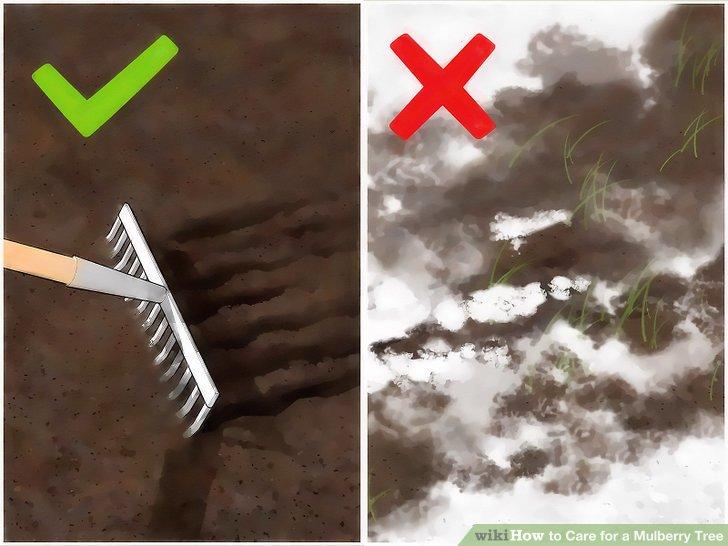 آموزش کاشت درخت شاه توت مرحله  4