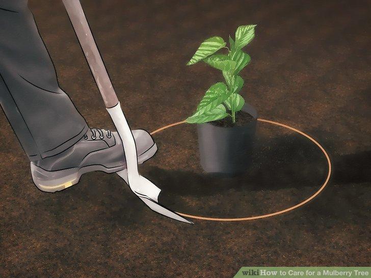 آموزش کاشت درخت شاه توت مرحله  5