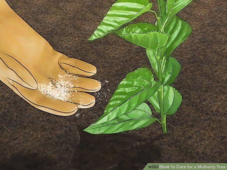 آموزش کاشت درخت شاه توت مرحله  6