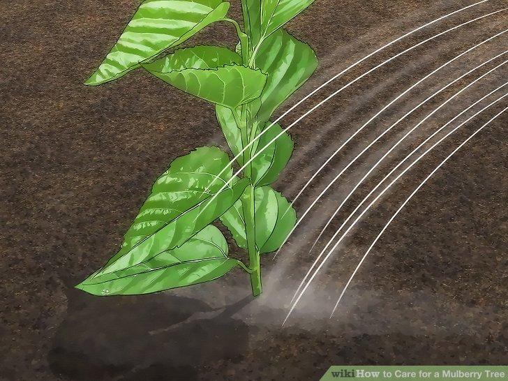 آموزش کاشت درخت شاه توت مرحله  7