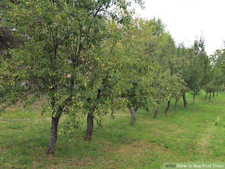 آموزش خرید درختان میوه مرحله 13