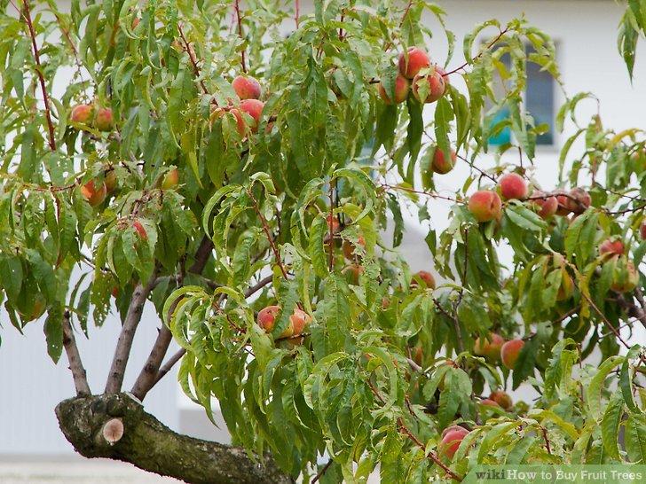 آموزش خرید درختان میوه مرحله 3