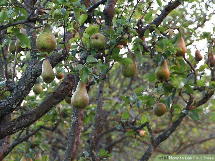 آموزش خرید درختان میوه مرحله 8