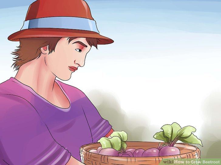 آموزش کاشت و پرورش چغندرقند مرحله 9