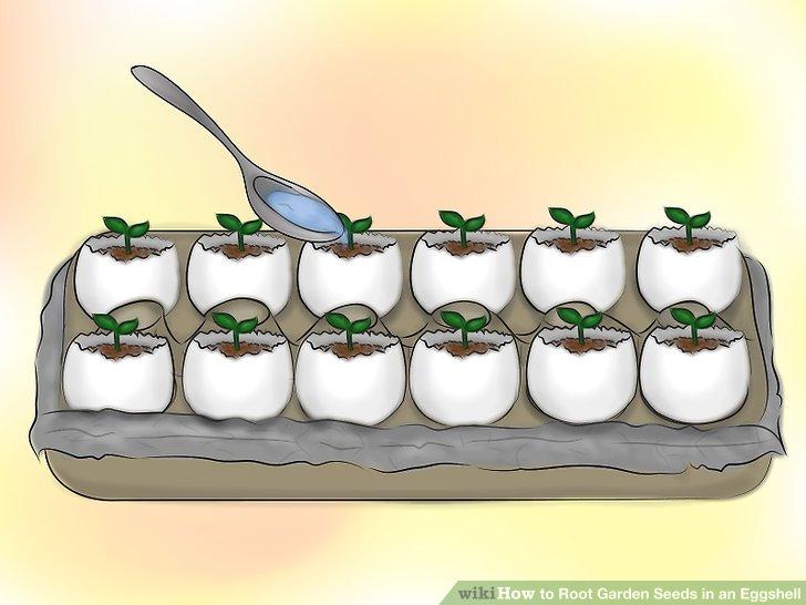 ریشه دار کردن بذر در پوست تخم مرغ 16