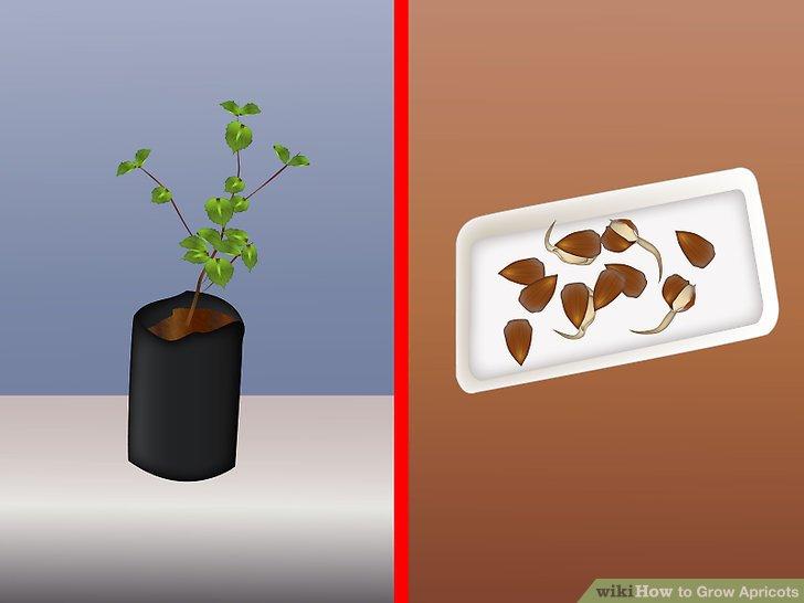 آموزش کاشت زردآلو مرحله 2